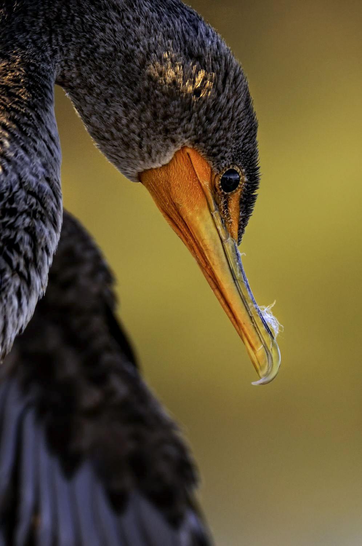 Double-crested Cormorant. Adam Felde/Audubon Photography Awards
