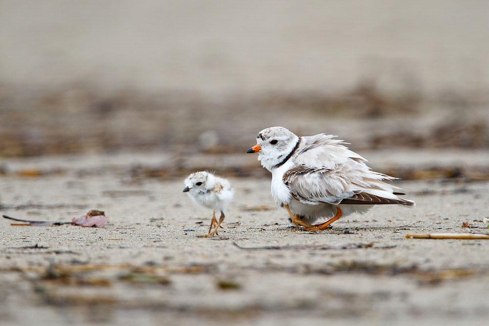 Piping Plovers. Rajan Desai/Audubon Photography Awards