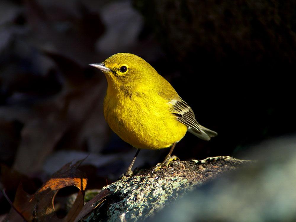 Pine Warbler. Megumi Aita/Audubon Photography Awards