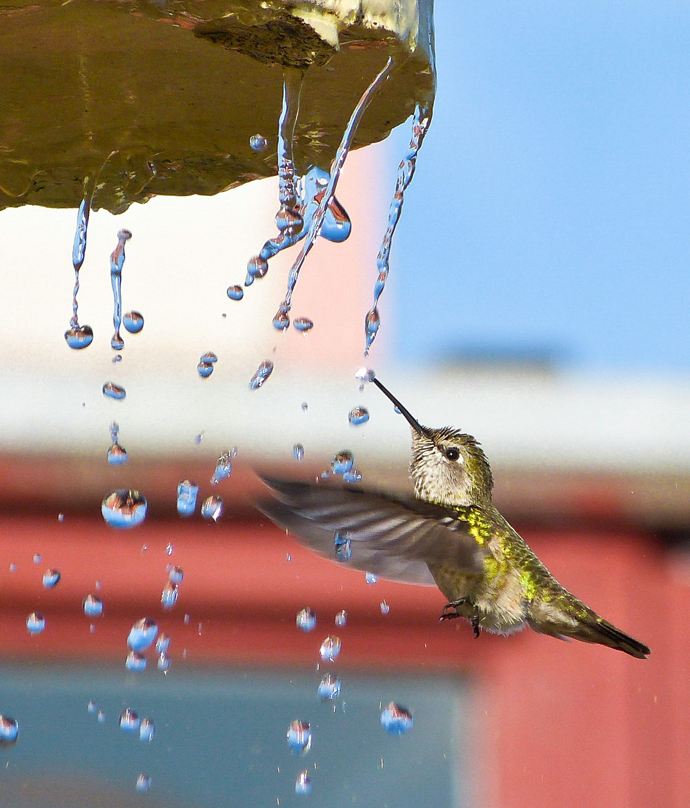 Anna's Hummingbird. Michael Hancock/Audubon Photography Awards