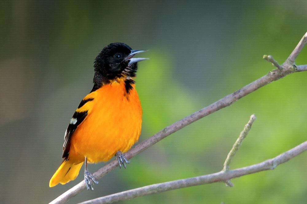 Baltimore Oriole. Richard Rigterink/Audubon Photography Awards