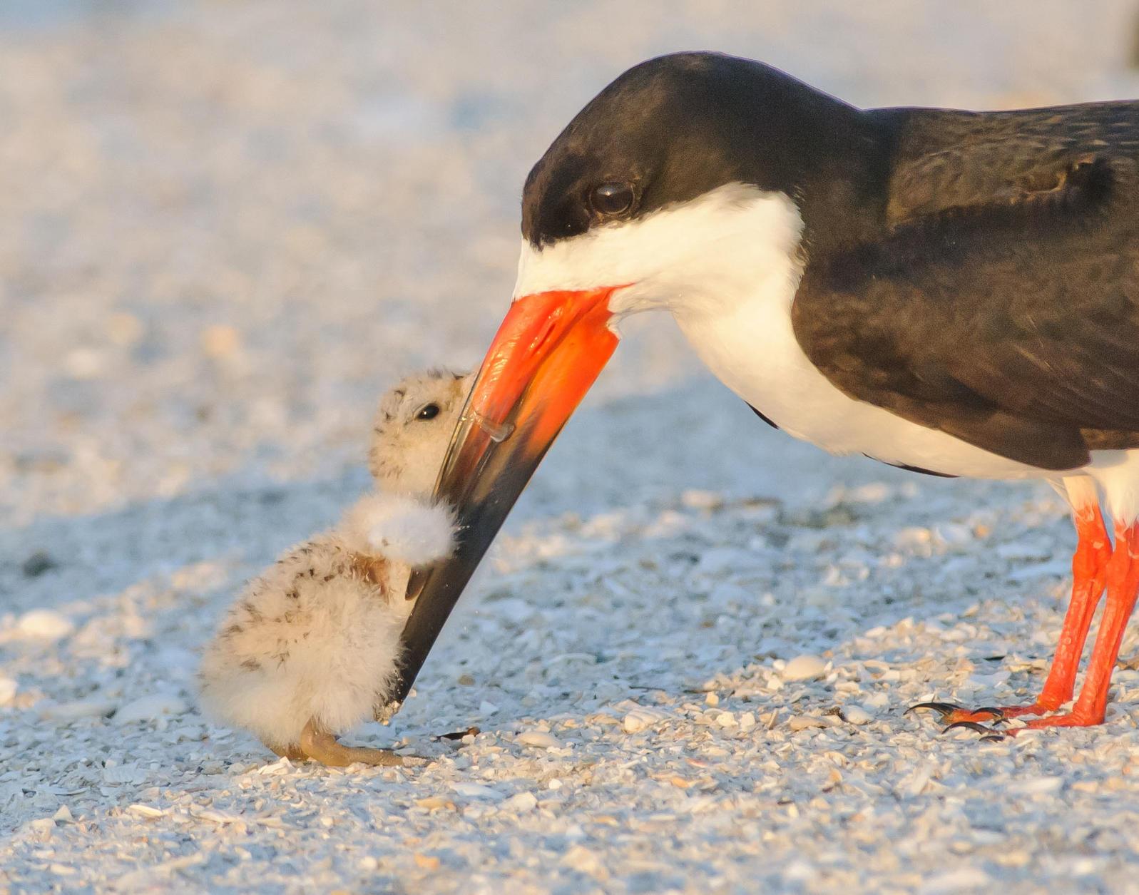 Black Skimmers. Jim Gray/Audubon Photography Awards