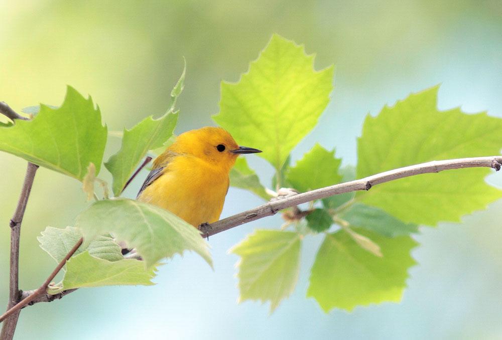 Prothonotary Warbler. Matthew Pimm/Audubon Photography Awards