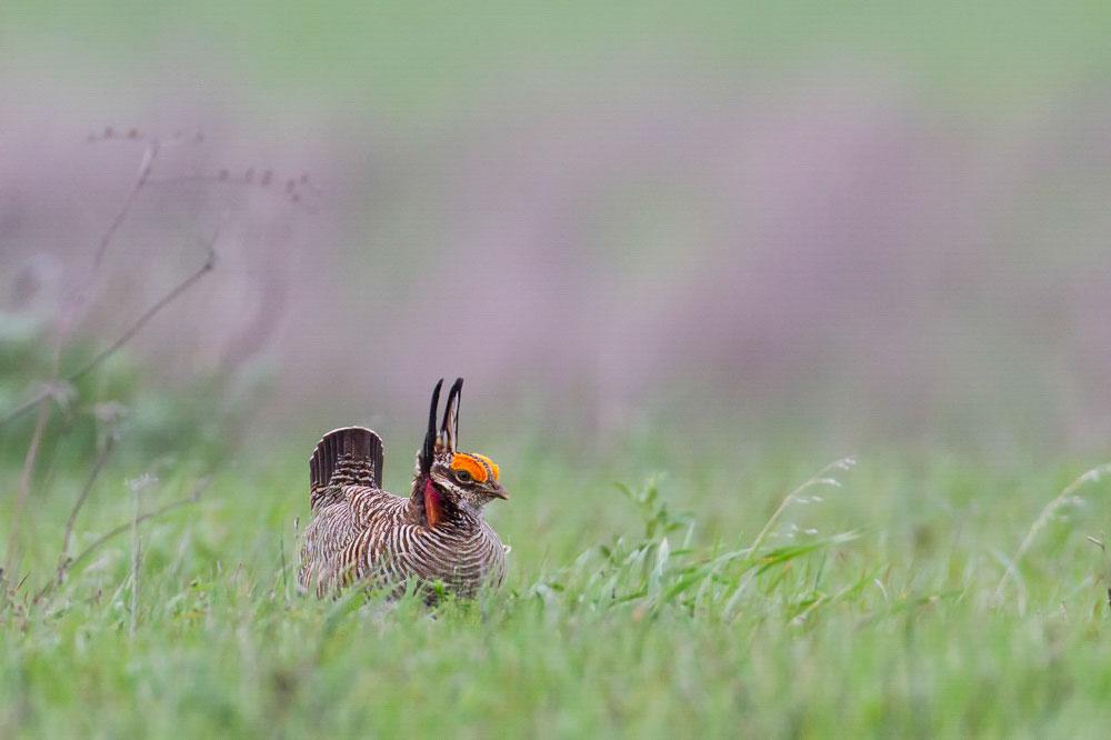 Lesser Prairie-Chicken. Melody Lytle/Audubon Photography Awards