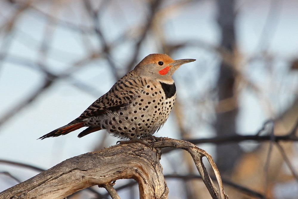 Northern Flicker. David Zieg/Audubon Photography Awards