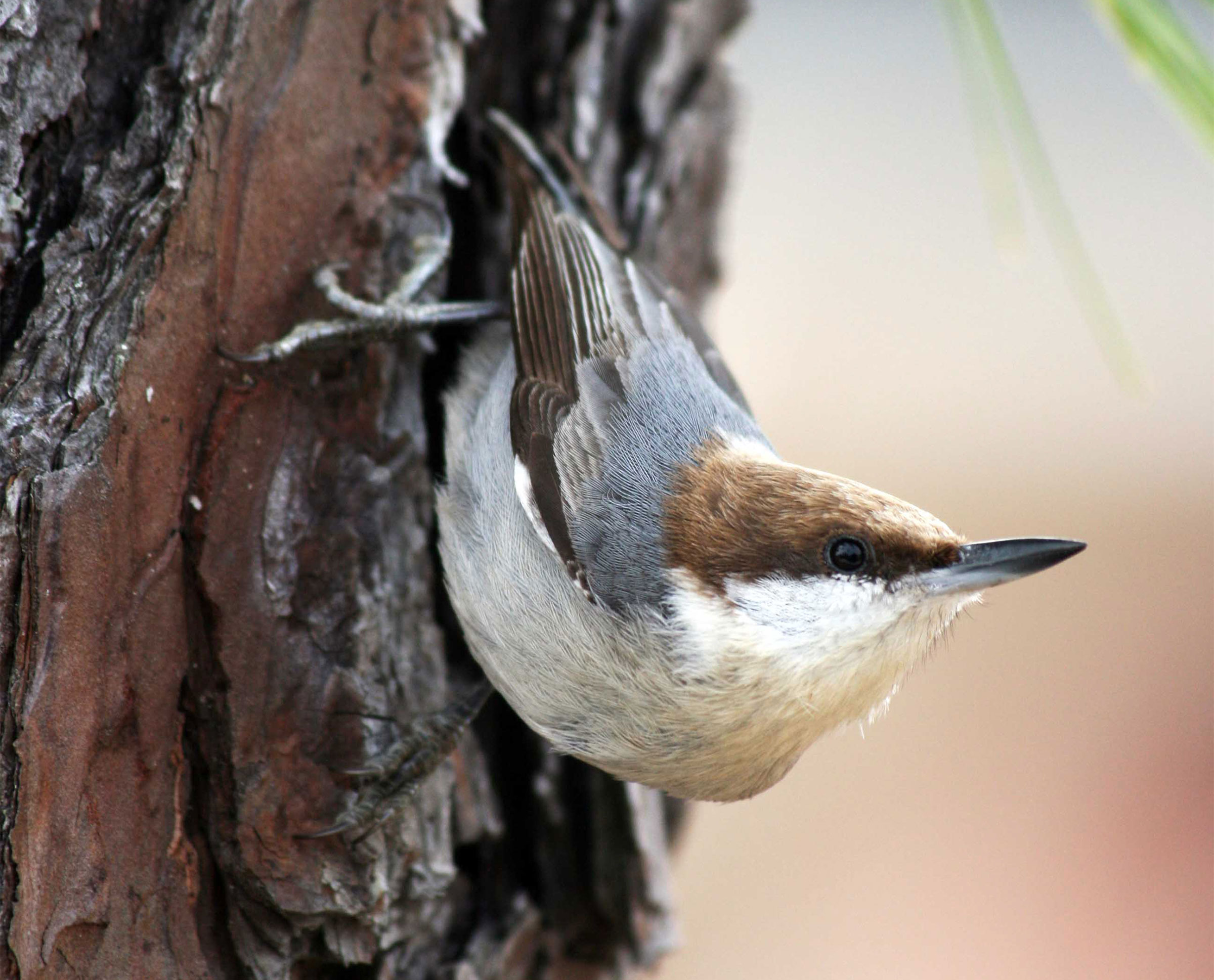 Brown-headed Nuthatch. Denise Massie/Audubon Photography Awards