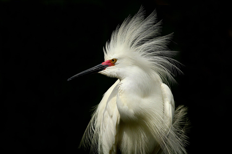 Snowy Egret. Scott Helfrich/Audubon Photography Awards