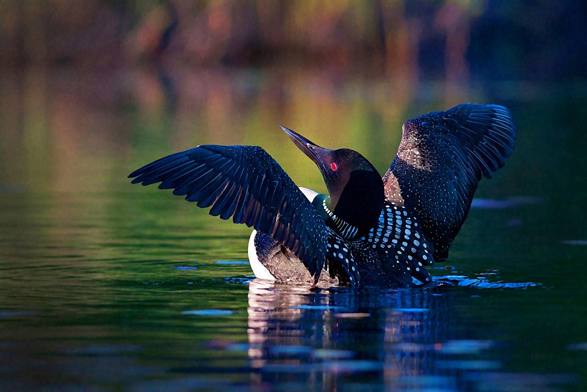 Common Loon. Jim Cumming/Audubon Photography Awards