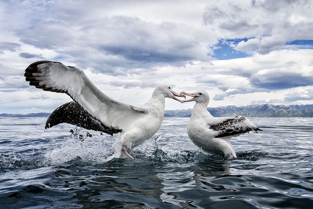 Wandering Albatross. William Pohley/Audubon Photography Awards