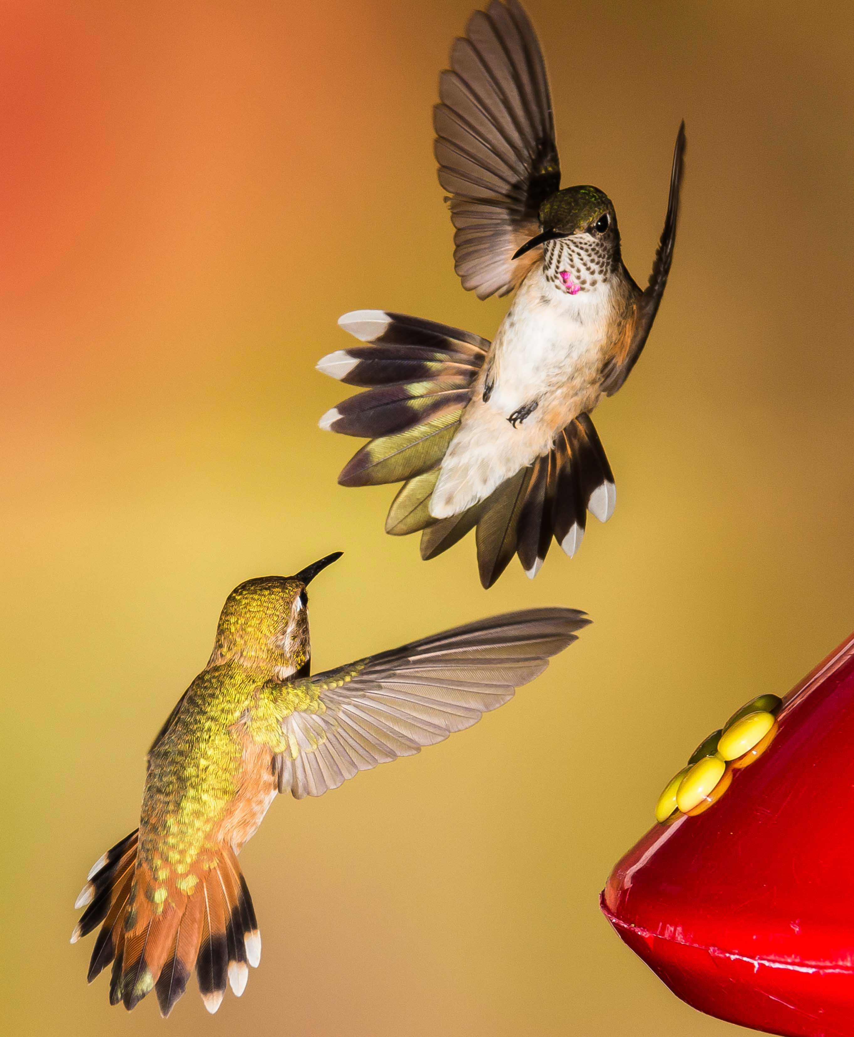 Rufous Hummingbird and Broad-tailed Hummingbird. Roger Levien/Audubon Photography Awards