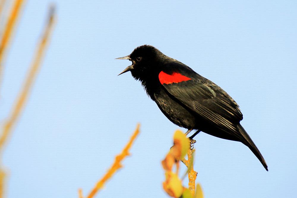 Red-winged Blackbird. Evleen Anderson/Audubon Photography Awards