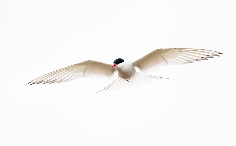 Arctic Tern. Keith Kennedy/Audubon Photography Awards