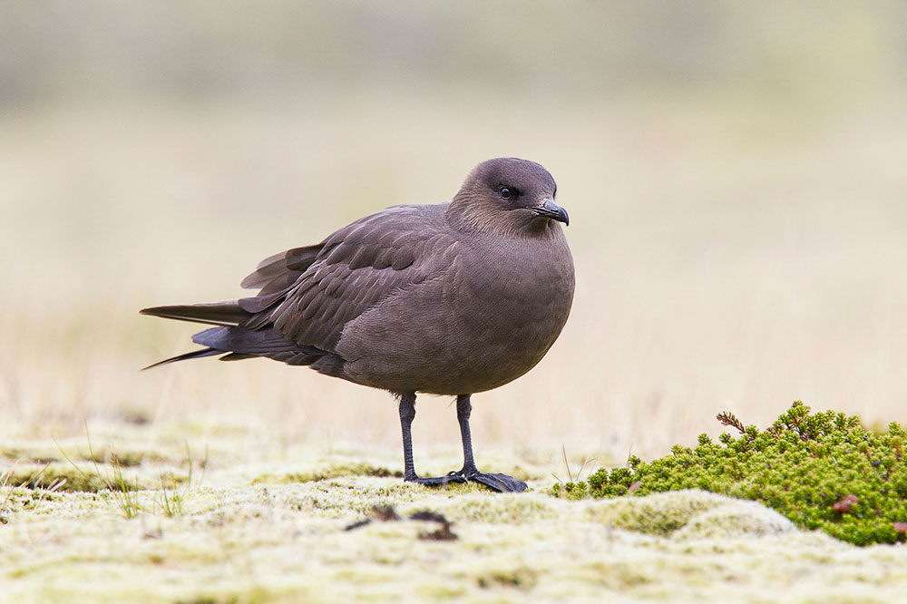 Parasitic Jaeger. Keith Kennedy/Audubon Photography Awards