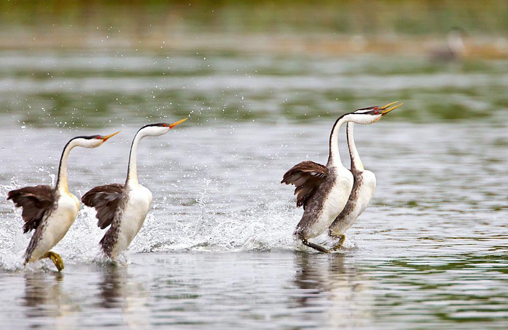 Western Grebes. Eleanor Briccetti/Audubon Photography Awards