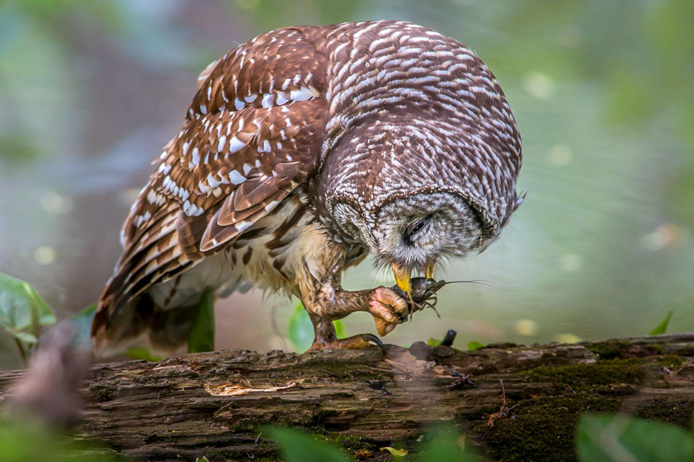 Barred Owl eating a crayfish. Chokchai Leangsuksun/Audubon Photography Awards