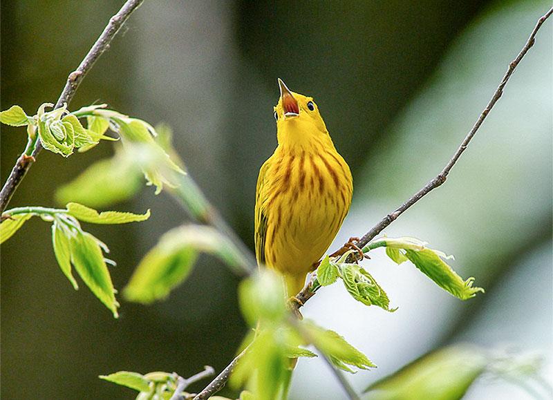 Yellow Warbler. Dale Bonk/Audubon Photography Awards