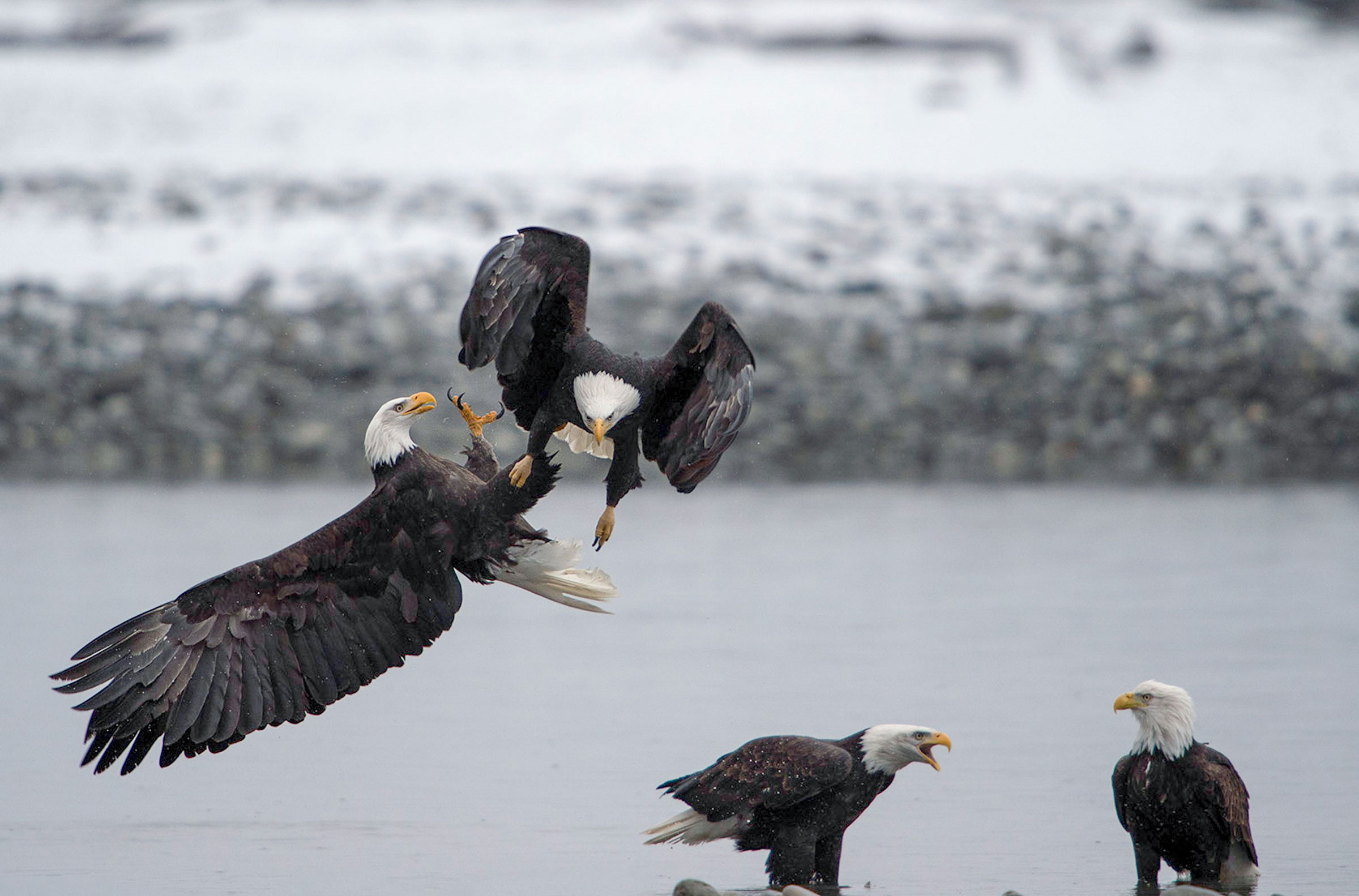 Bald Eagles. Eric Mitch/Audubon Photography Awards