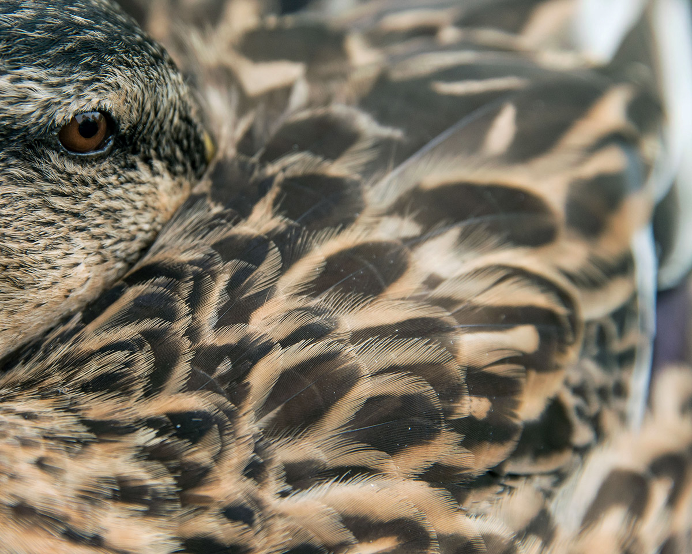 Mallard. Lauren Harnett/Audubon Photography Awards