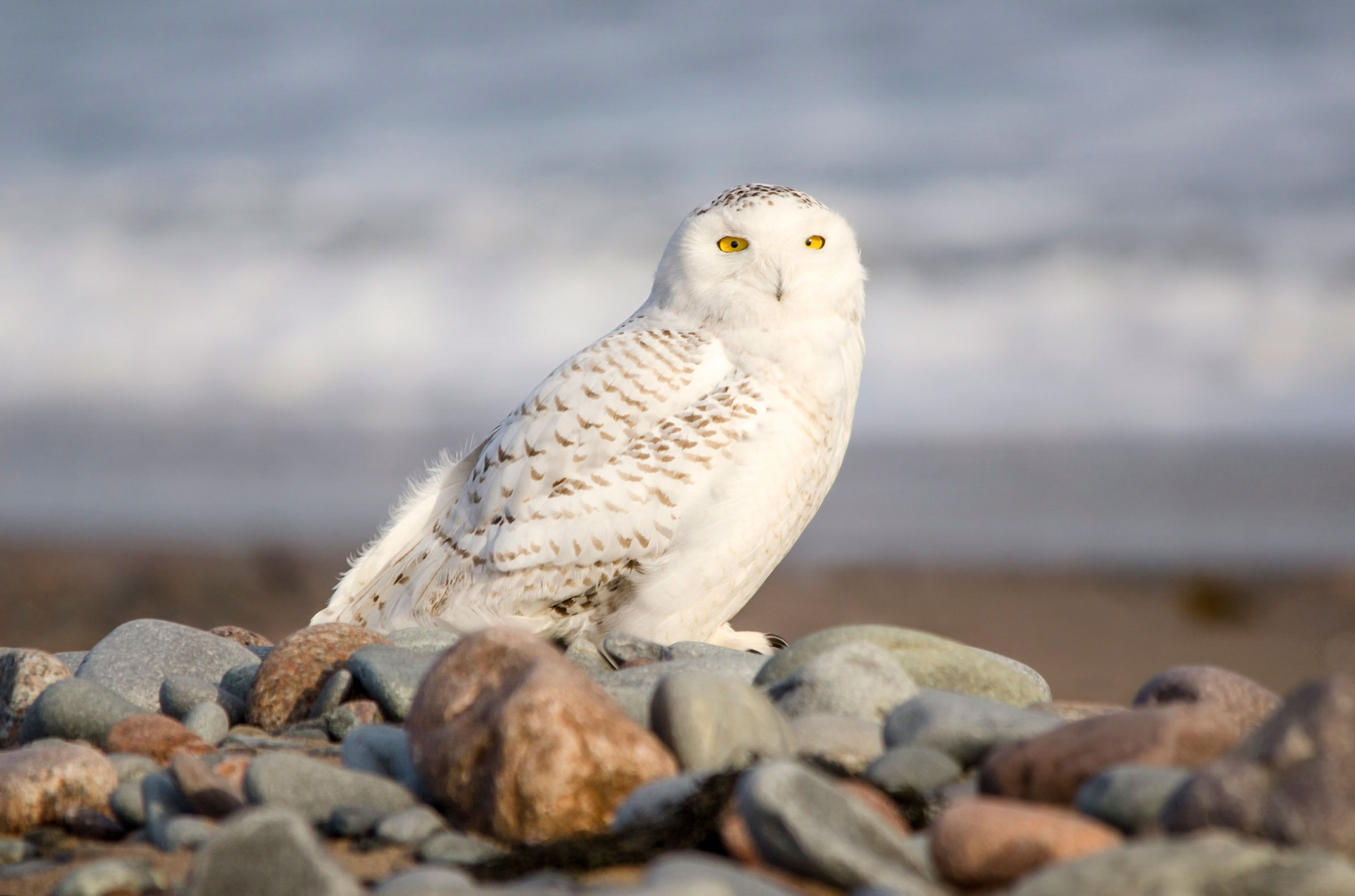 The Snowy Owl's stately plumage wasn't enough for a win. Peter Brannon/Audubon Photography Awards
