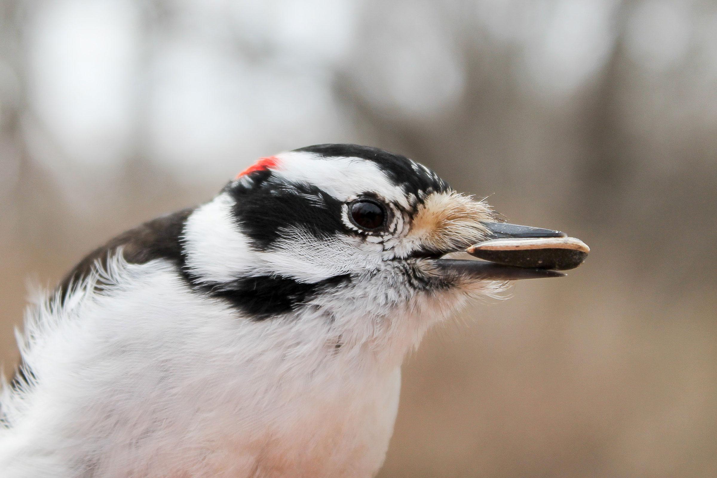 Downy Woodpecker. Raymond Marino/Audubon Photography Awards