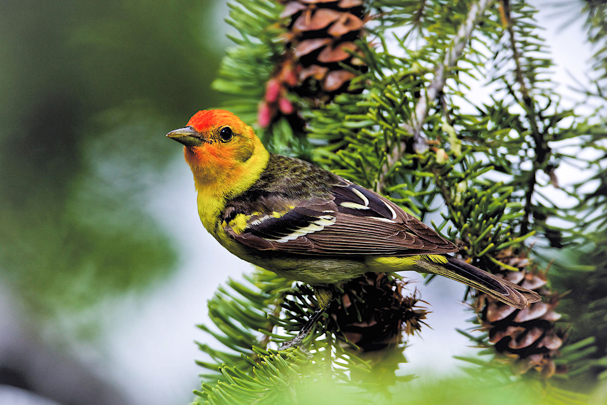 Western Tanager in Douglas fir. Timothy Lenahan/Audubon Photography Awards