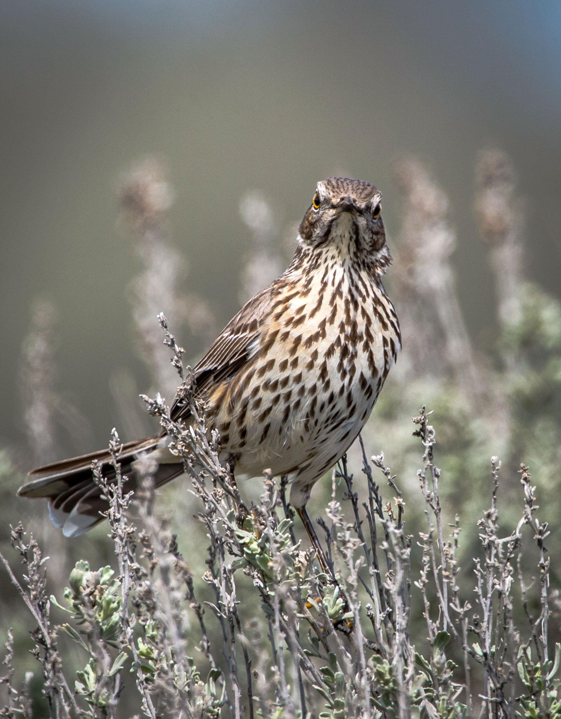 Sage Thrasher. Sharon Lindsay/Audubon Photography Awards