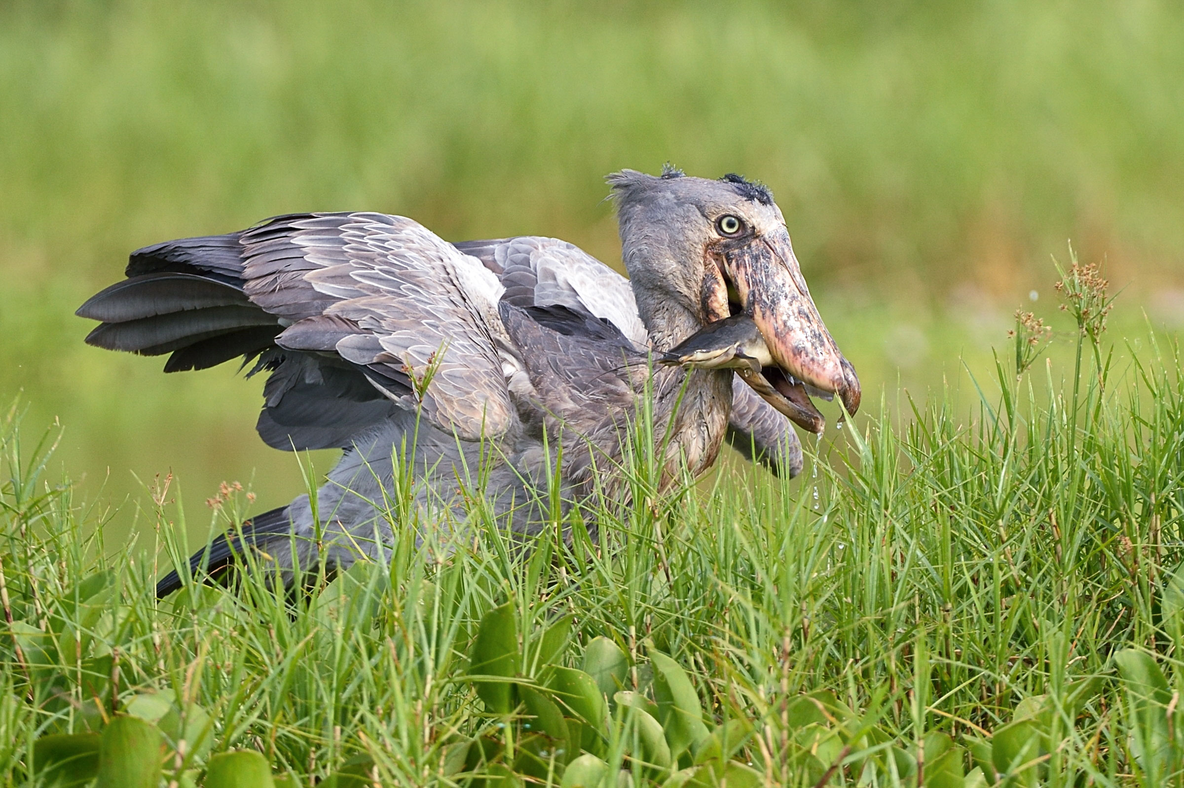 Shoebill (somehow birb). John Rollins/Audubon Photography Awards