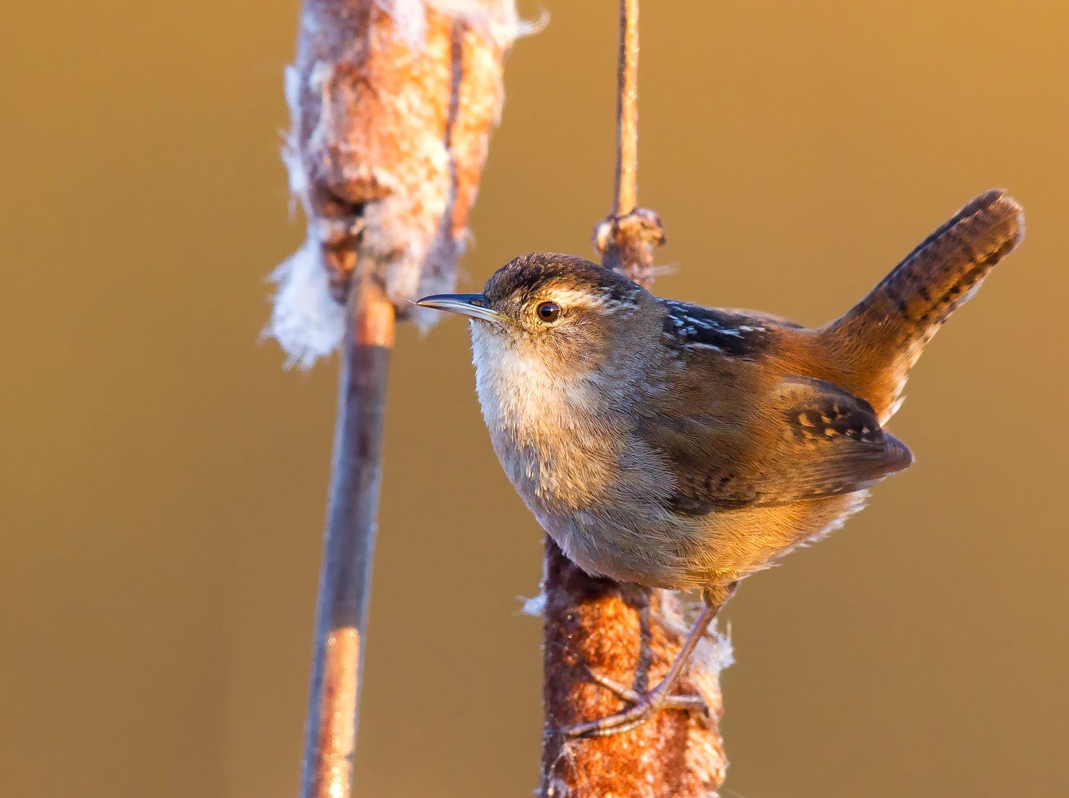 Marsh Wren. Boe Baty/Audubon Photography Awards