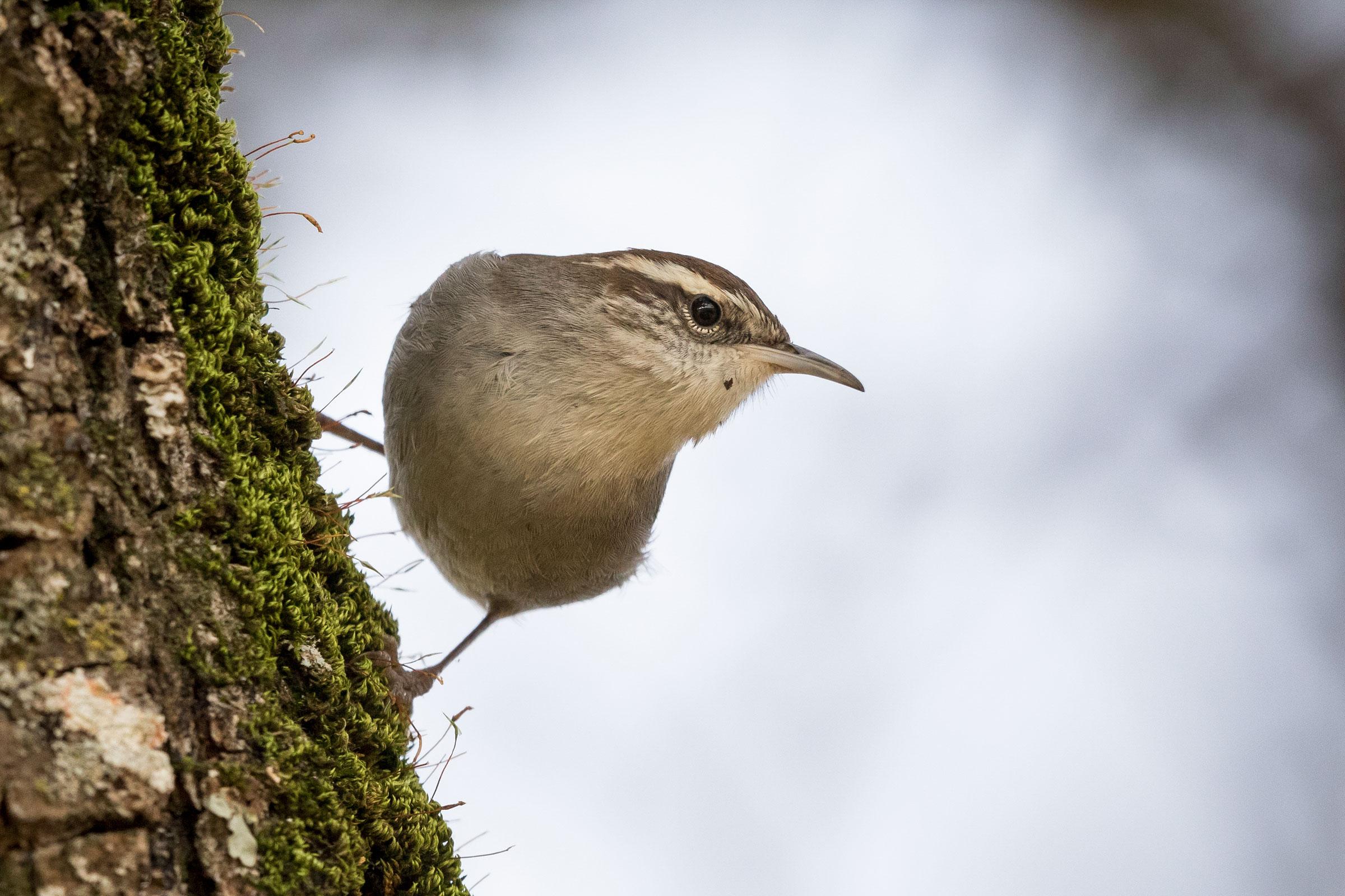 Bewick's Wren. Sylvia Hunt/Audubon Photography Awards
