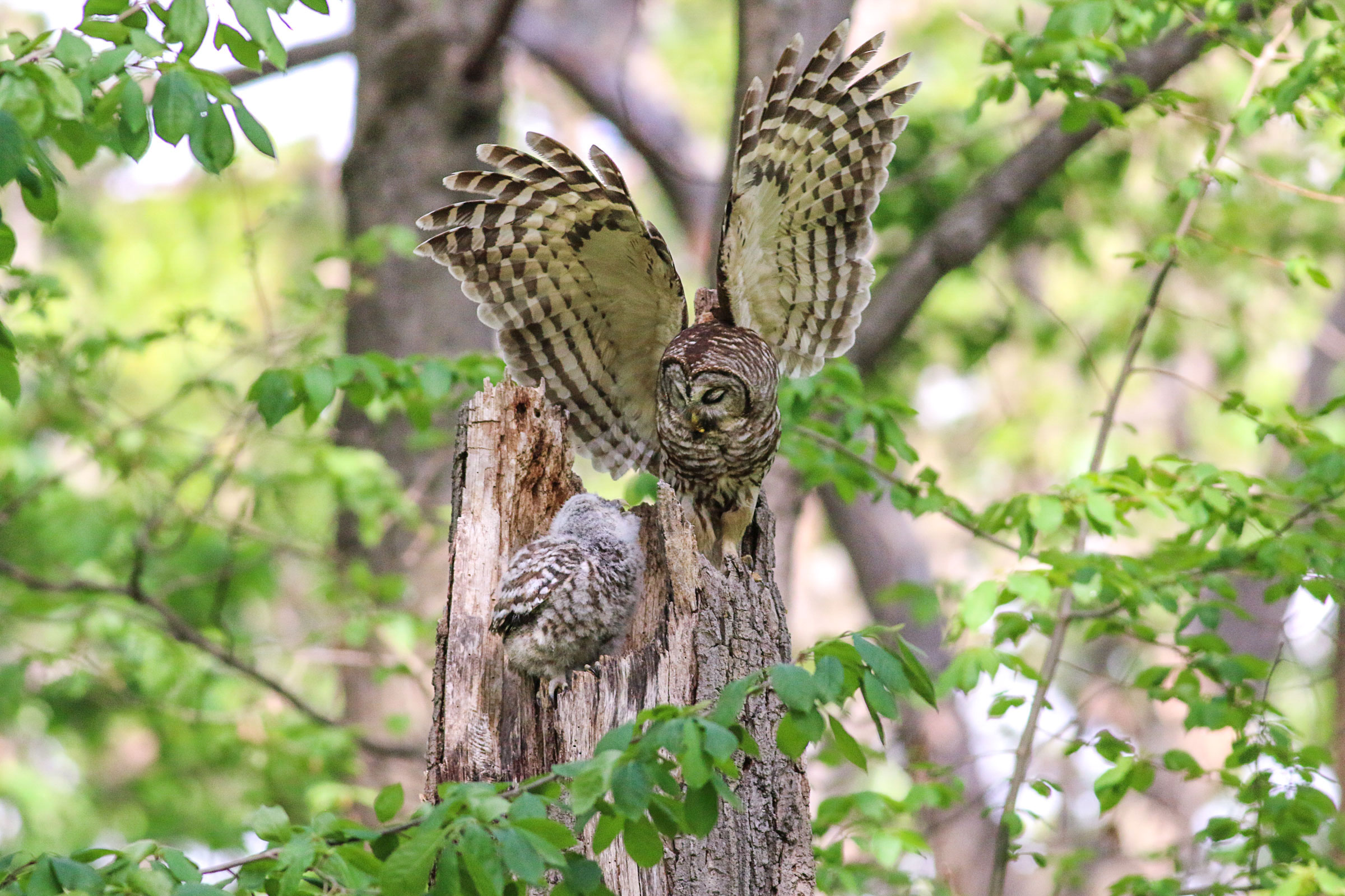 A Barred Owl feeds its chick in a tree hollow. Jeffrey Dyke/Audubon Photography Awards