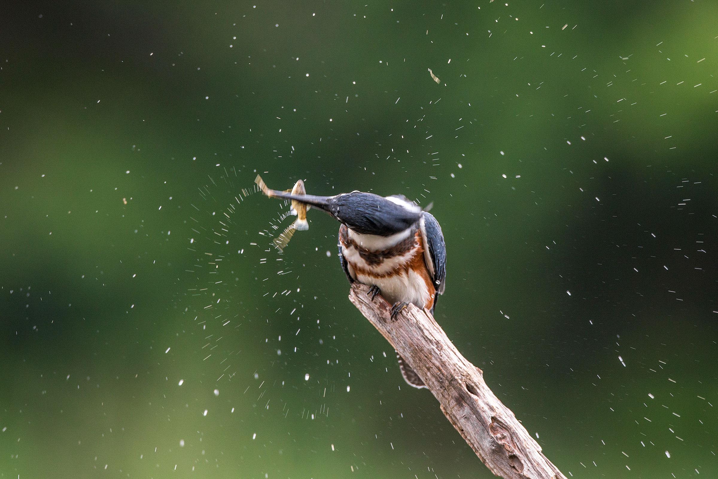 Belted Kingfisher. Christopher Ciccone/Audubon Photography Awards