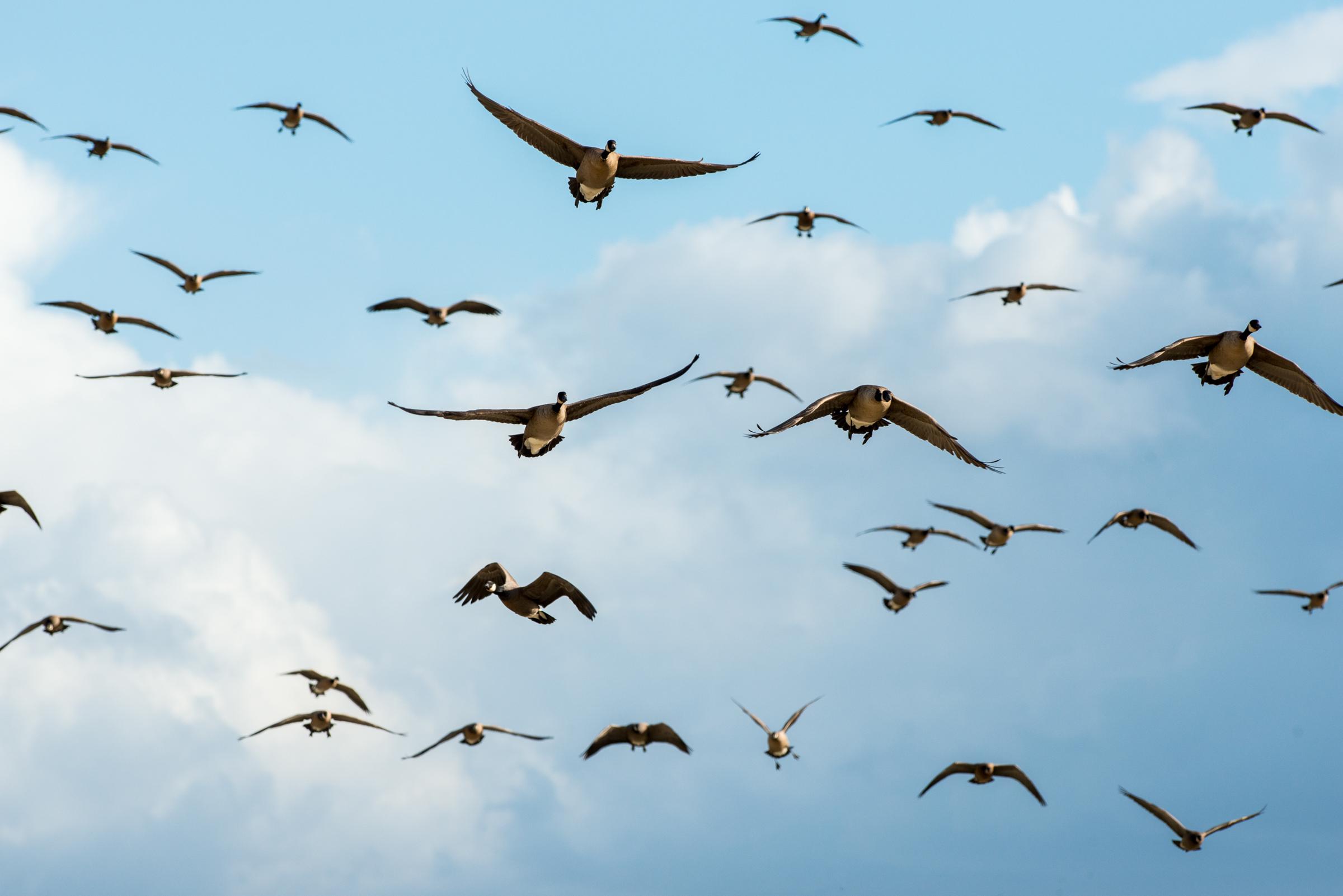 Canda Geese in Flight