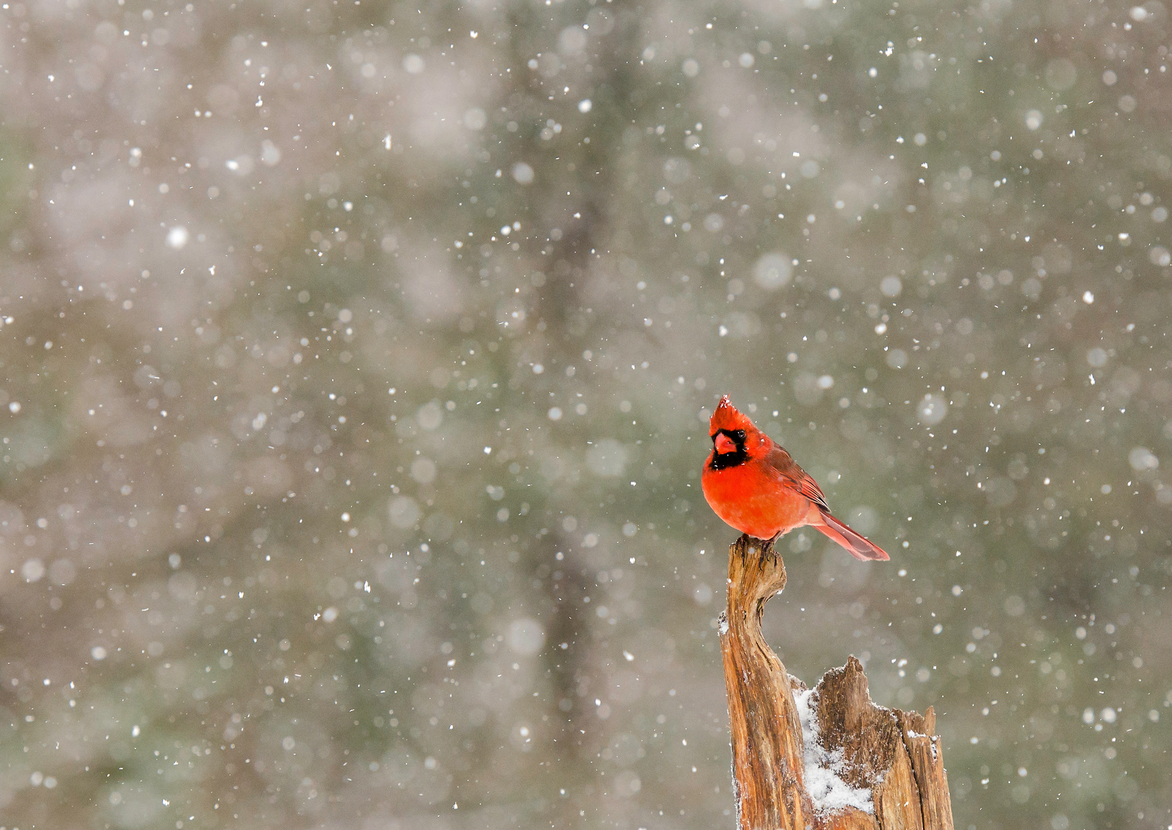 Audubon Christmas Cards 2020 Holiday Birding Traditions, as Told by Our Members | Audubon