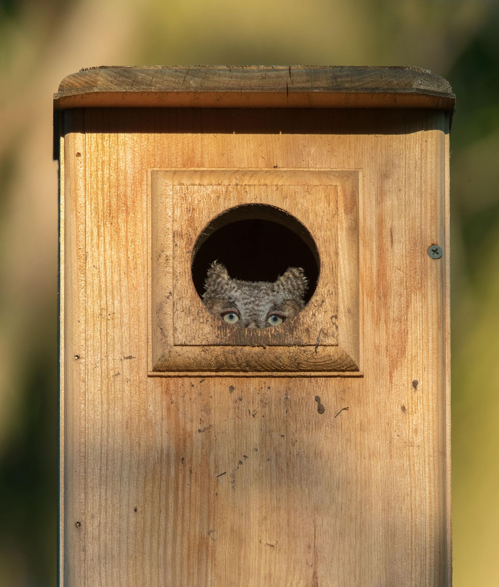 Eastern Screech-Owl. Ashleigh Scully