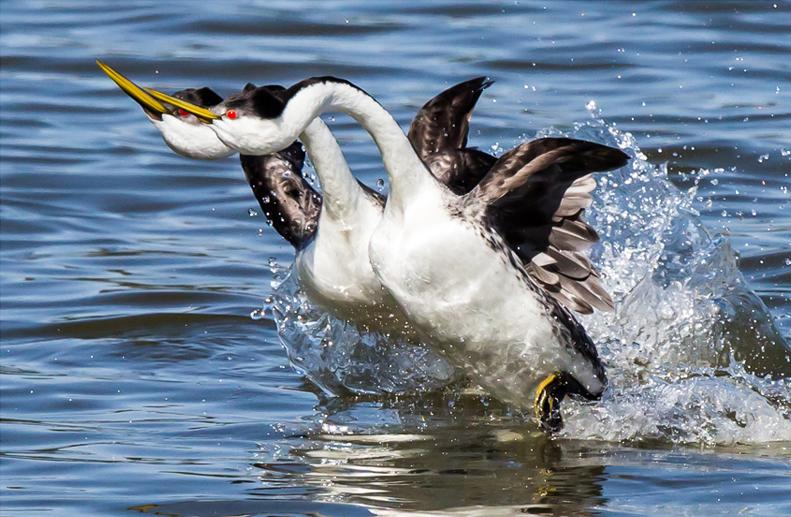 Western Grebes. Charlie Baughman/Audubon Photography Awards