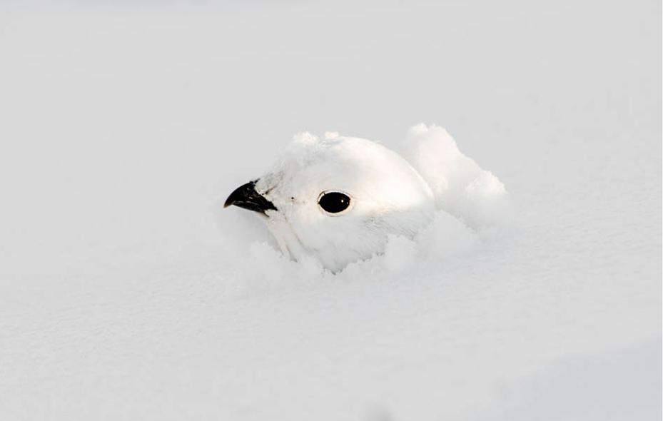 White-tailed Ptarmigan. Dawn Y. Wilson/Audubon Photography Awards