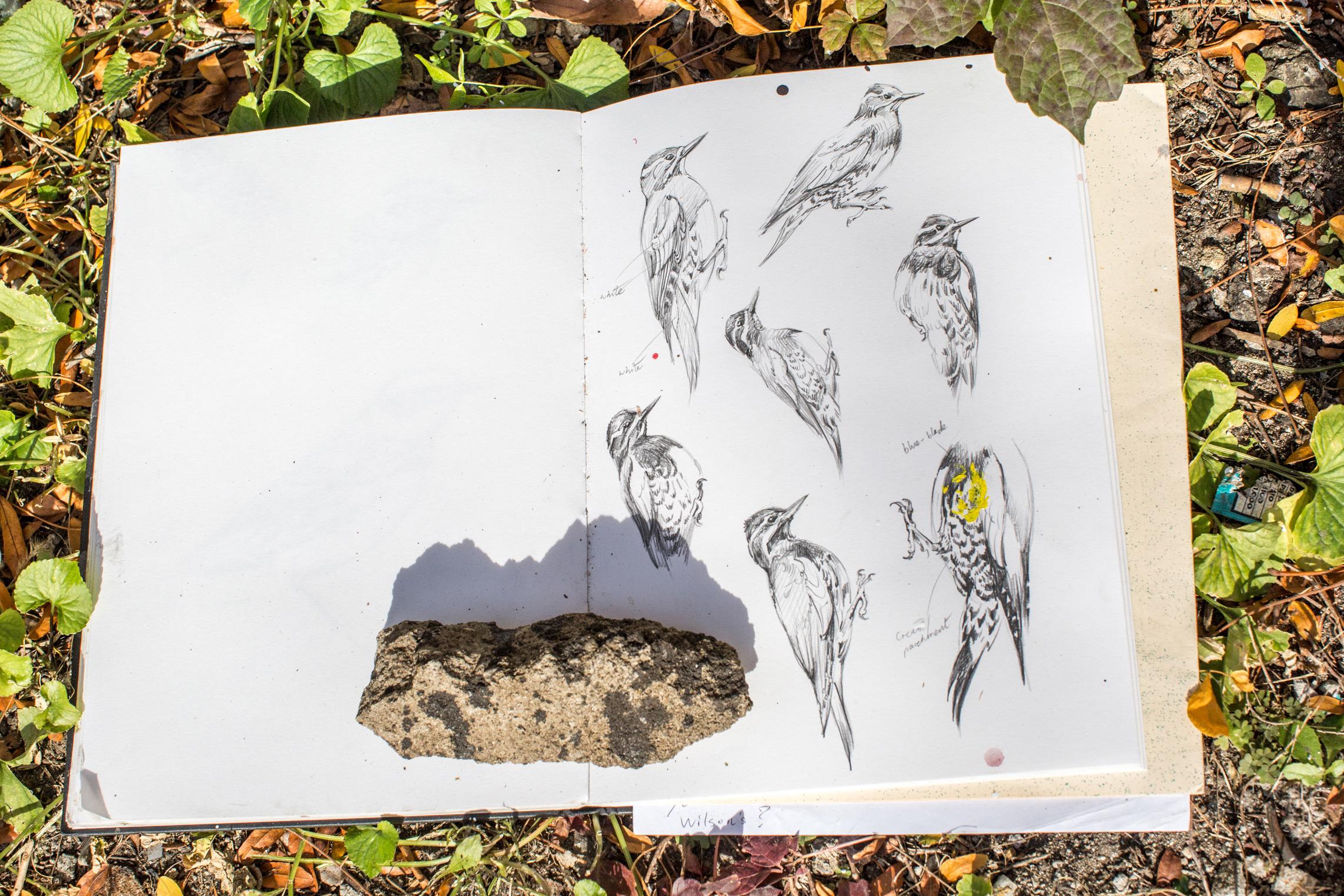 ATM's sapsucker sketches. Hillary Eggers/Audubon