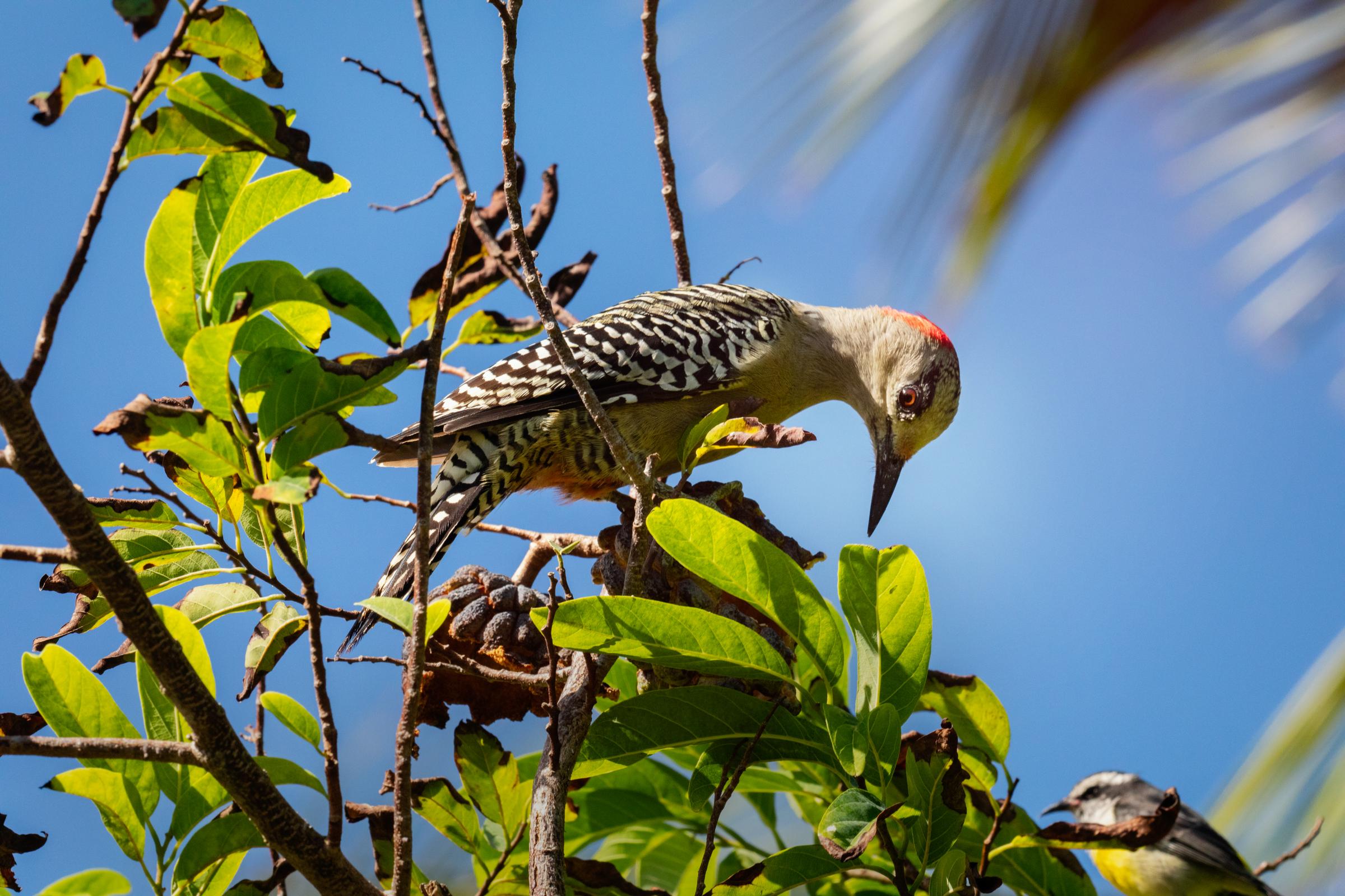 West Indian Woodpecker. Mike Fernandez/Audubon