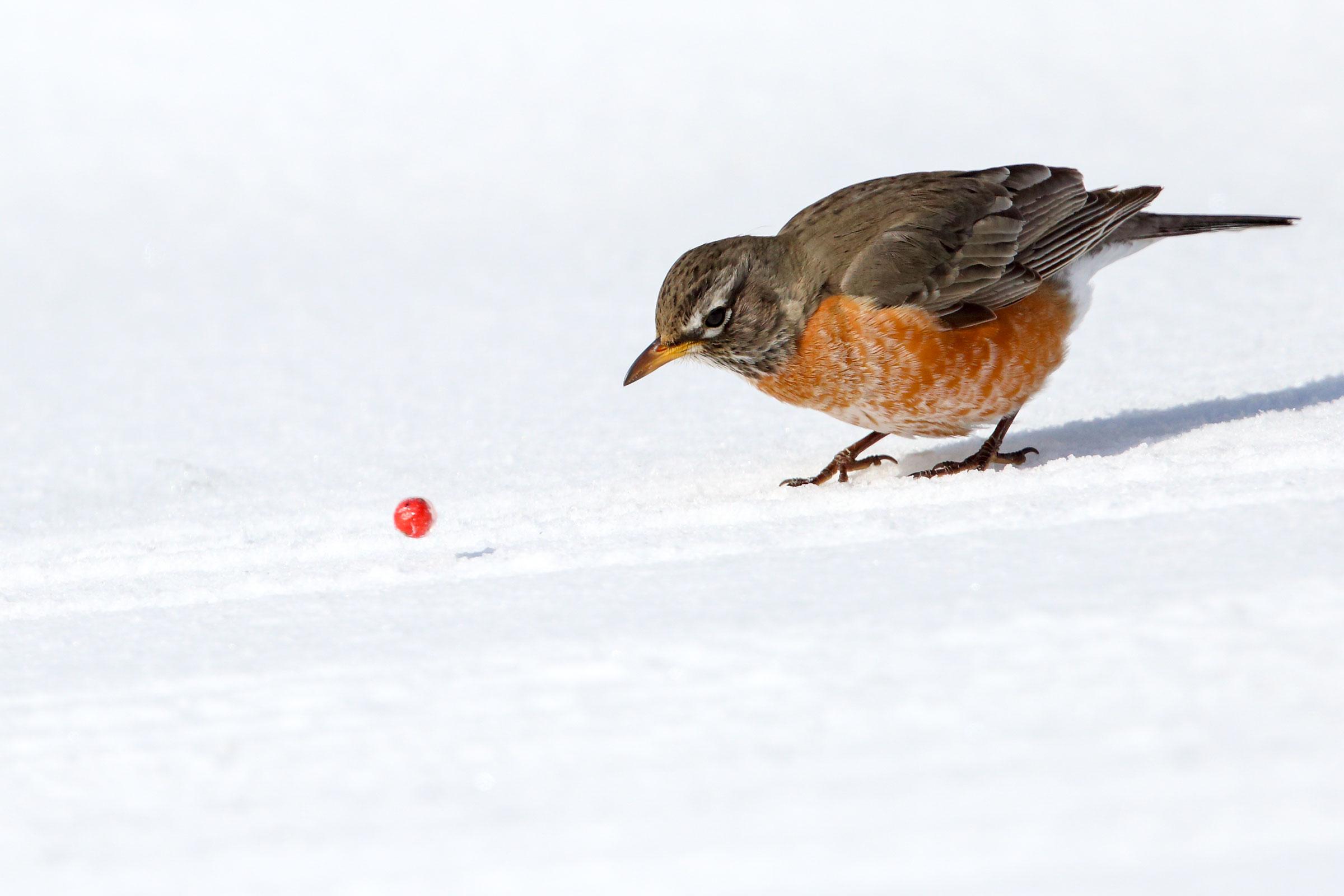 American Robin. Marian Herz/Audubon Photography Awards