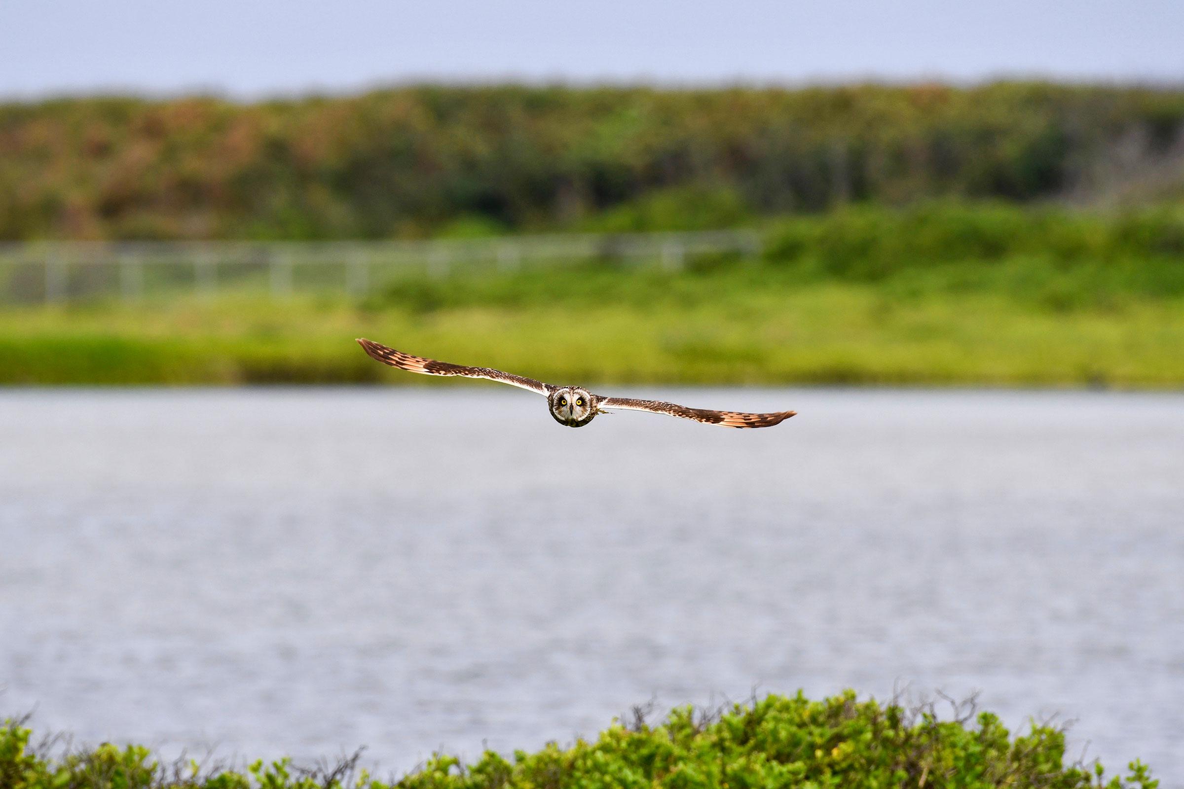 Hawaiian Short-eared Owl. Kelly Hetrick/Audubon Photography Awards