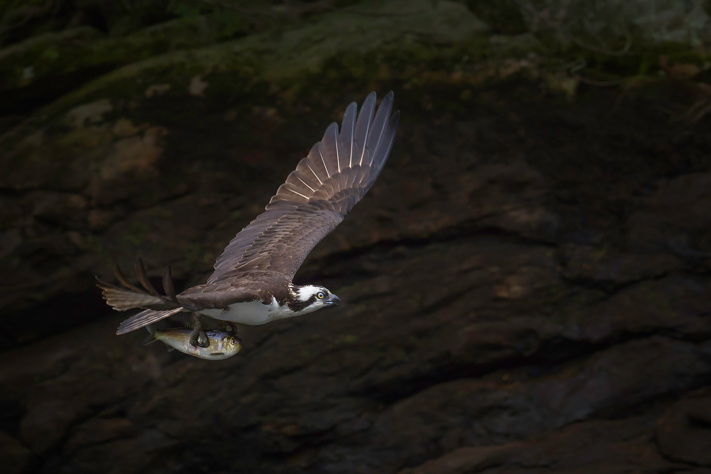 An Osprey with a menhaden fish. Caroline Samson/Audubon Photography Awards