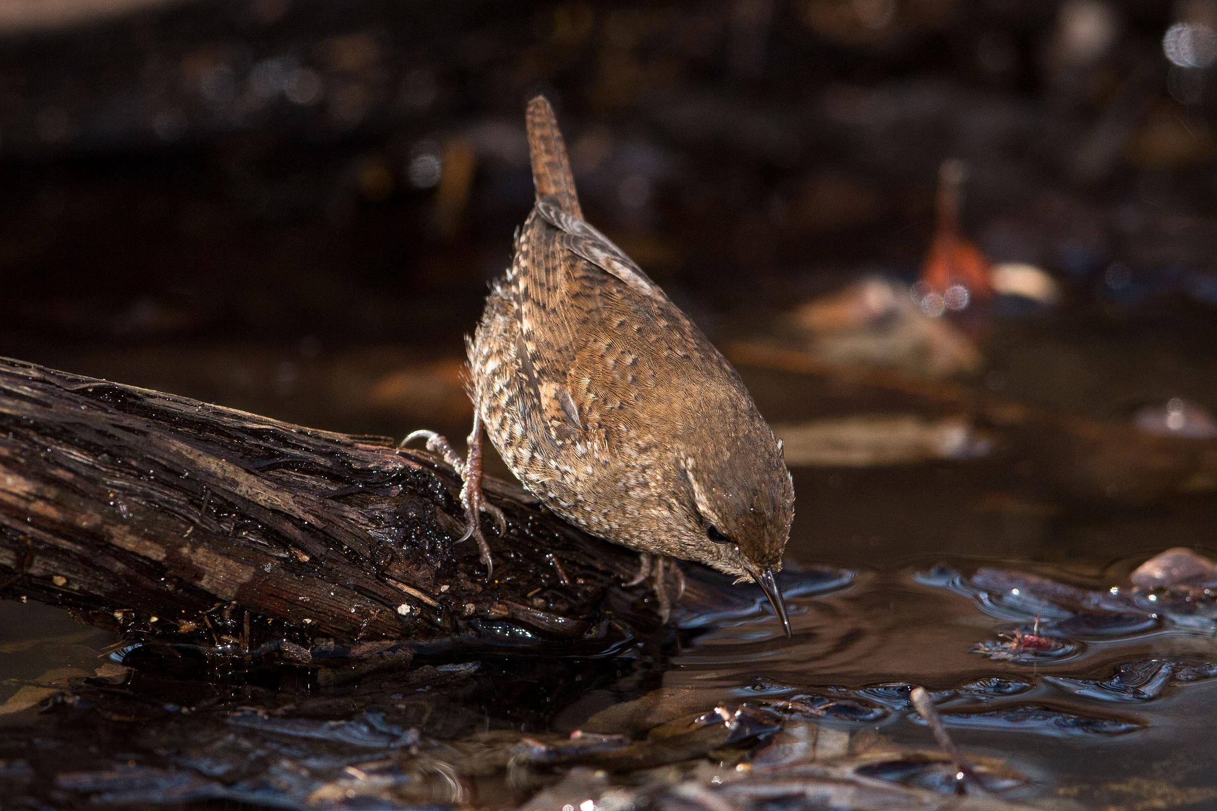 Winter Wren. Gary Robinette/Audubon Photography Awards