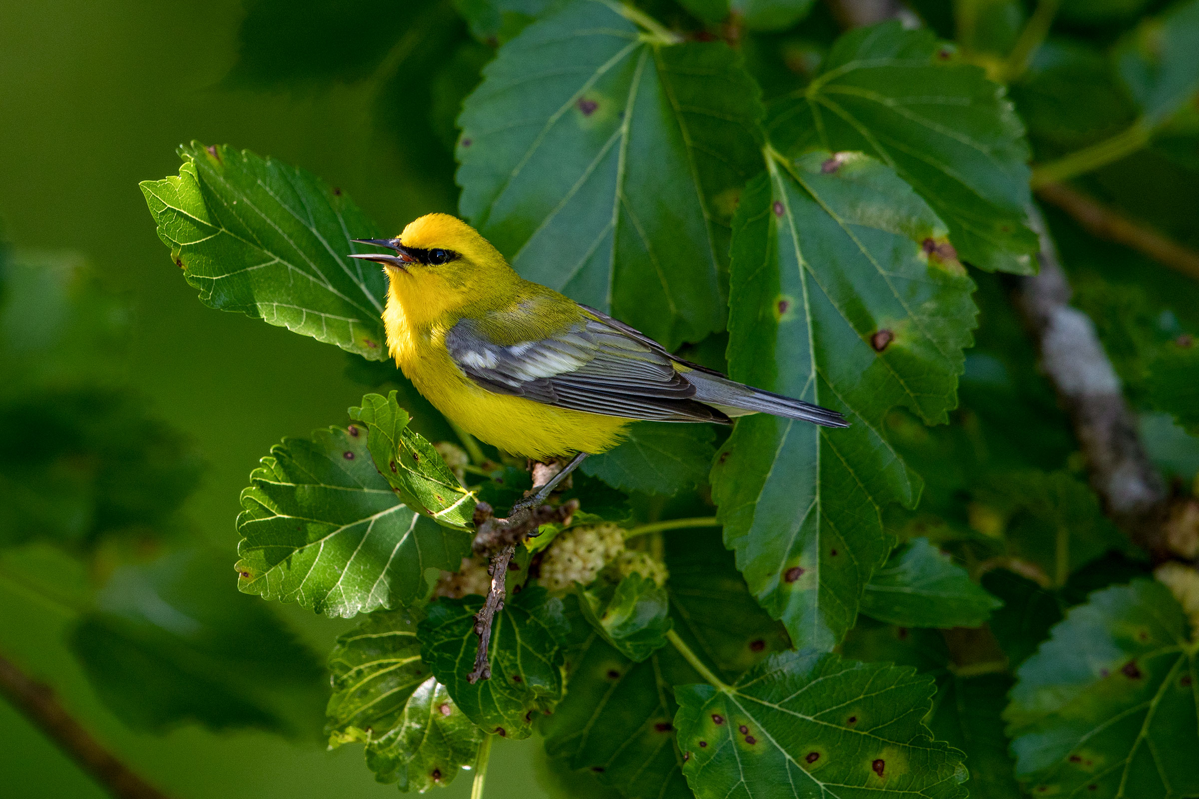 Blue-winged Warbler is just one of the 35 warbler species that can be found in New River Gorge National Park. Gary Robinette/Audubon Photography Awards
