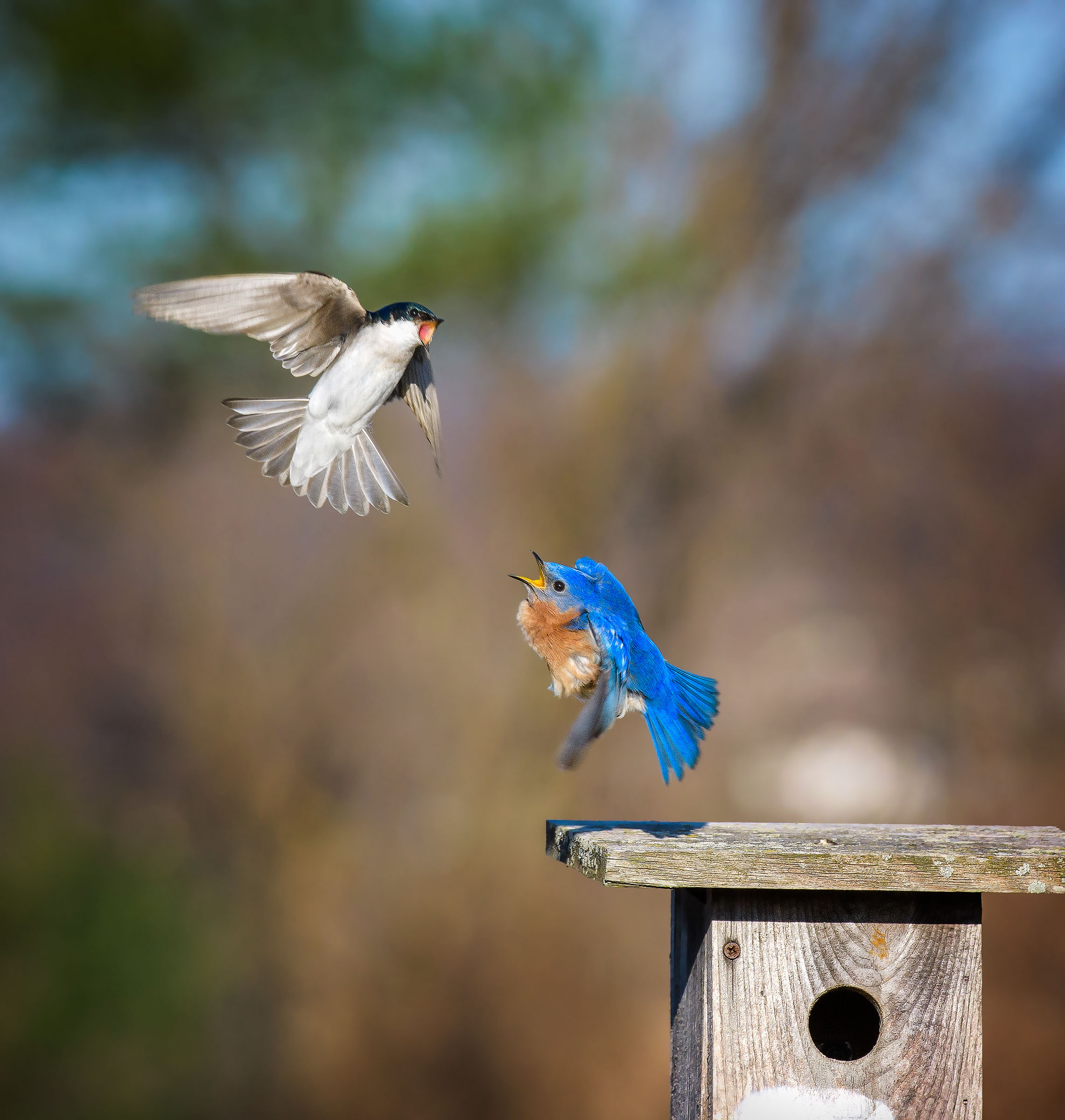 Tree Swallow and Eastern Bluebird. Vicki Jauron/Audubon Photography Awards
