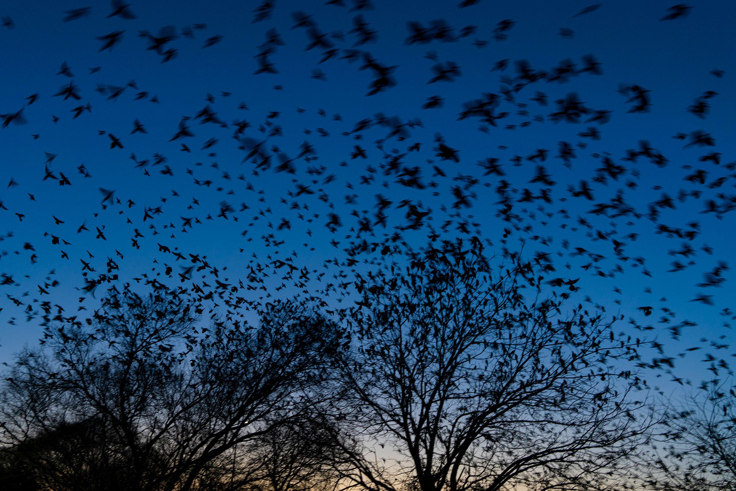 Common Grackles. Greg Rogers/Audubon Photography Awards
