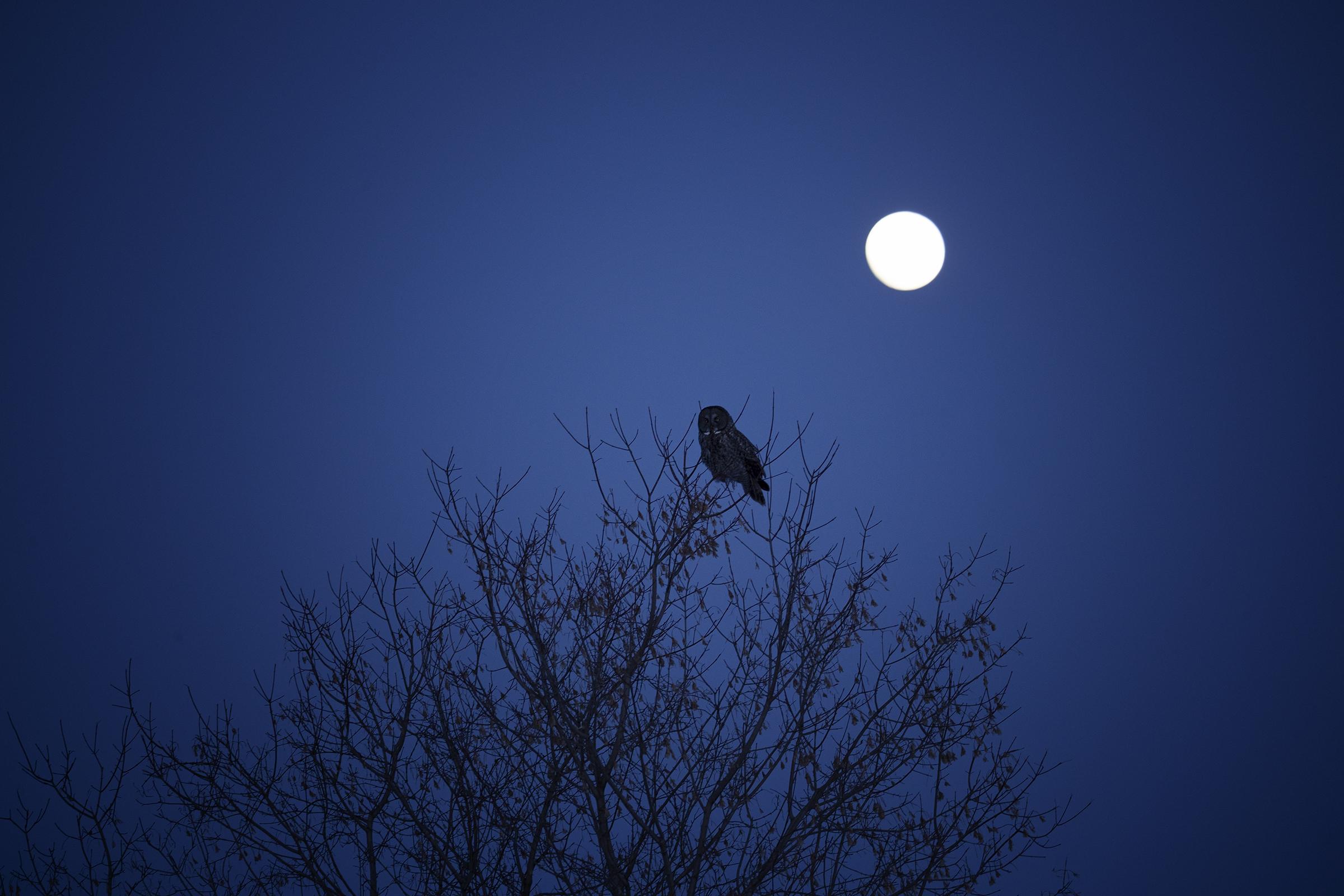 Great Gray Owl Karyn Schiller