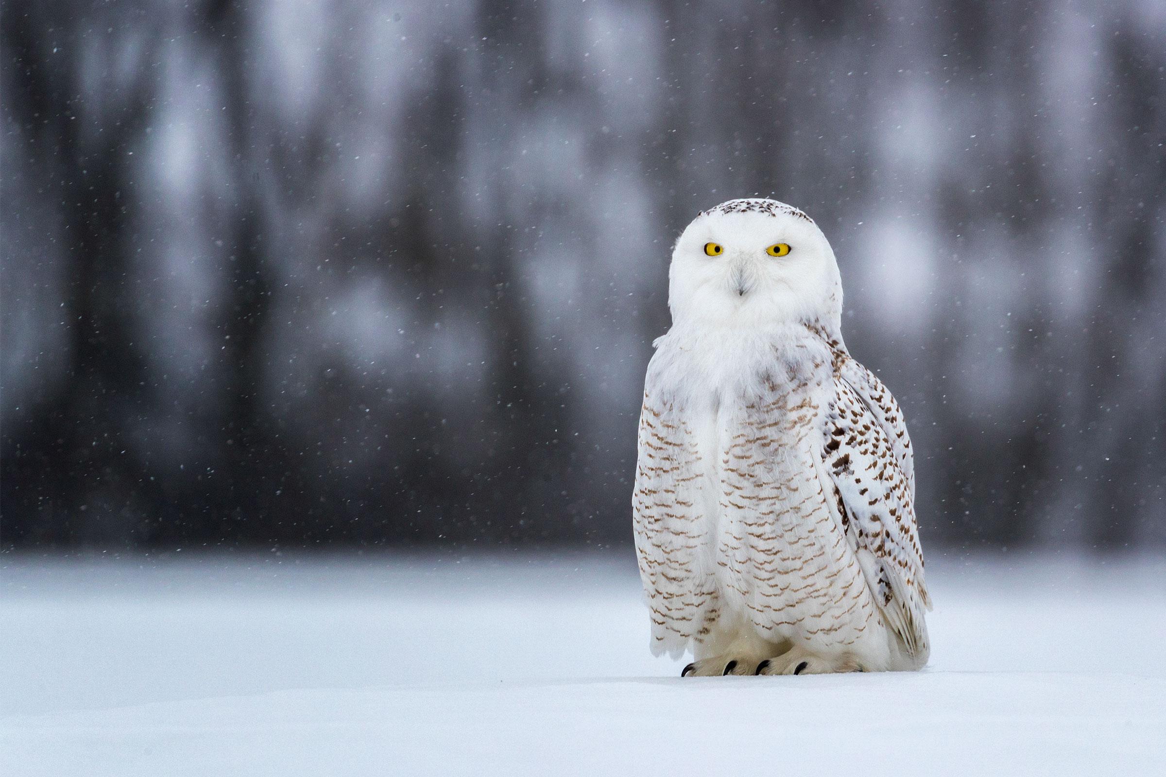 Snowy Owl. Karyn Schiller/Audubon Photography Awards