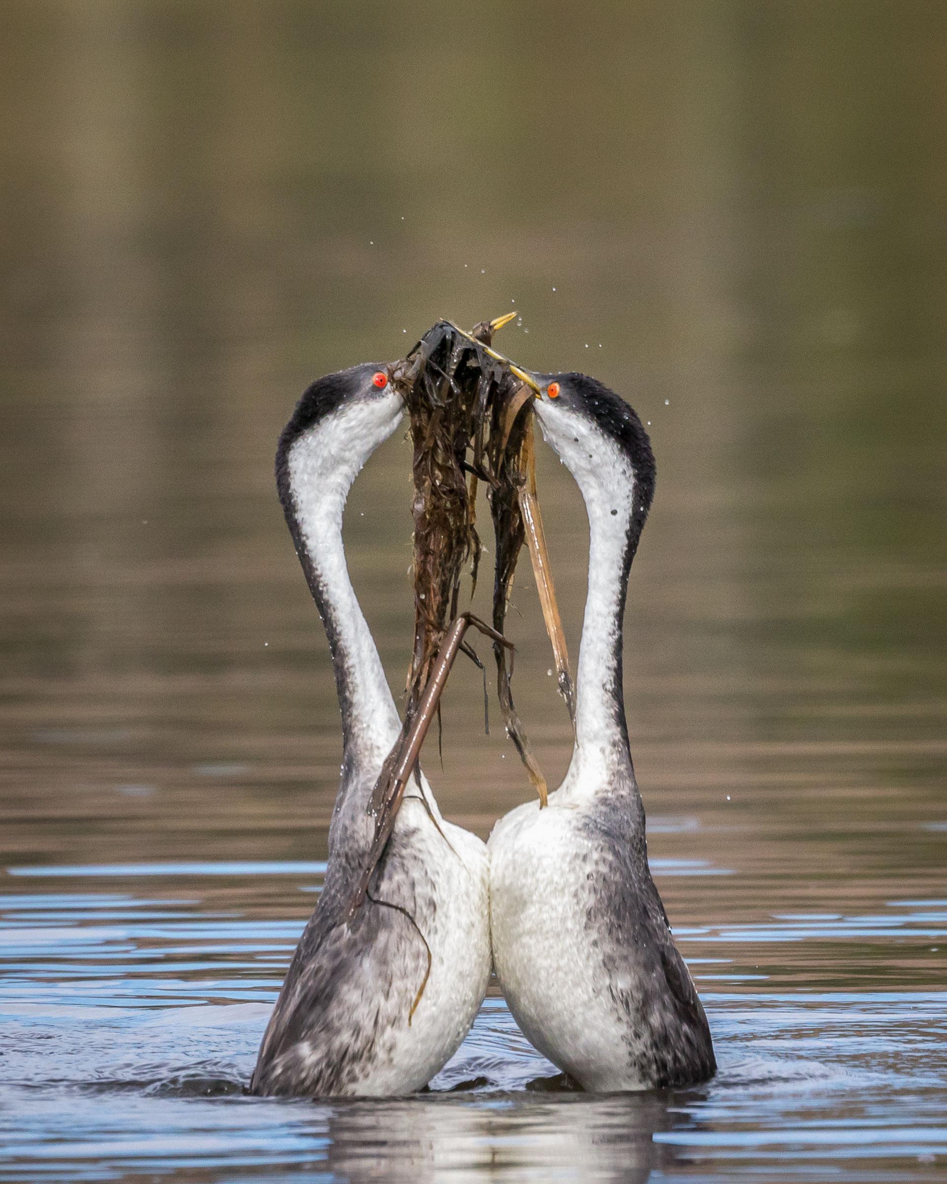 Western Grebes. Krisztina Scheeff/Audubon Photography Awards