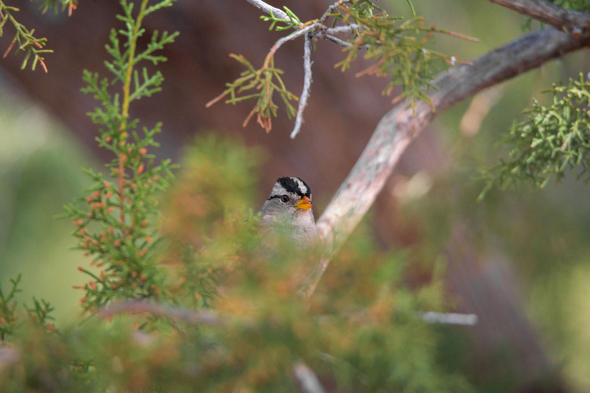 White-crowned Sparrow. Matthew Endersbe/Audubon Photography Awards
