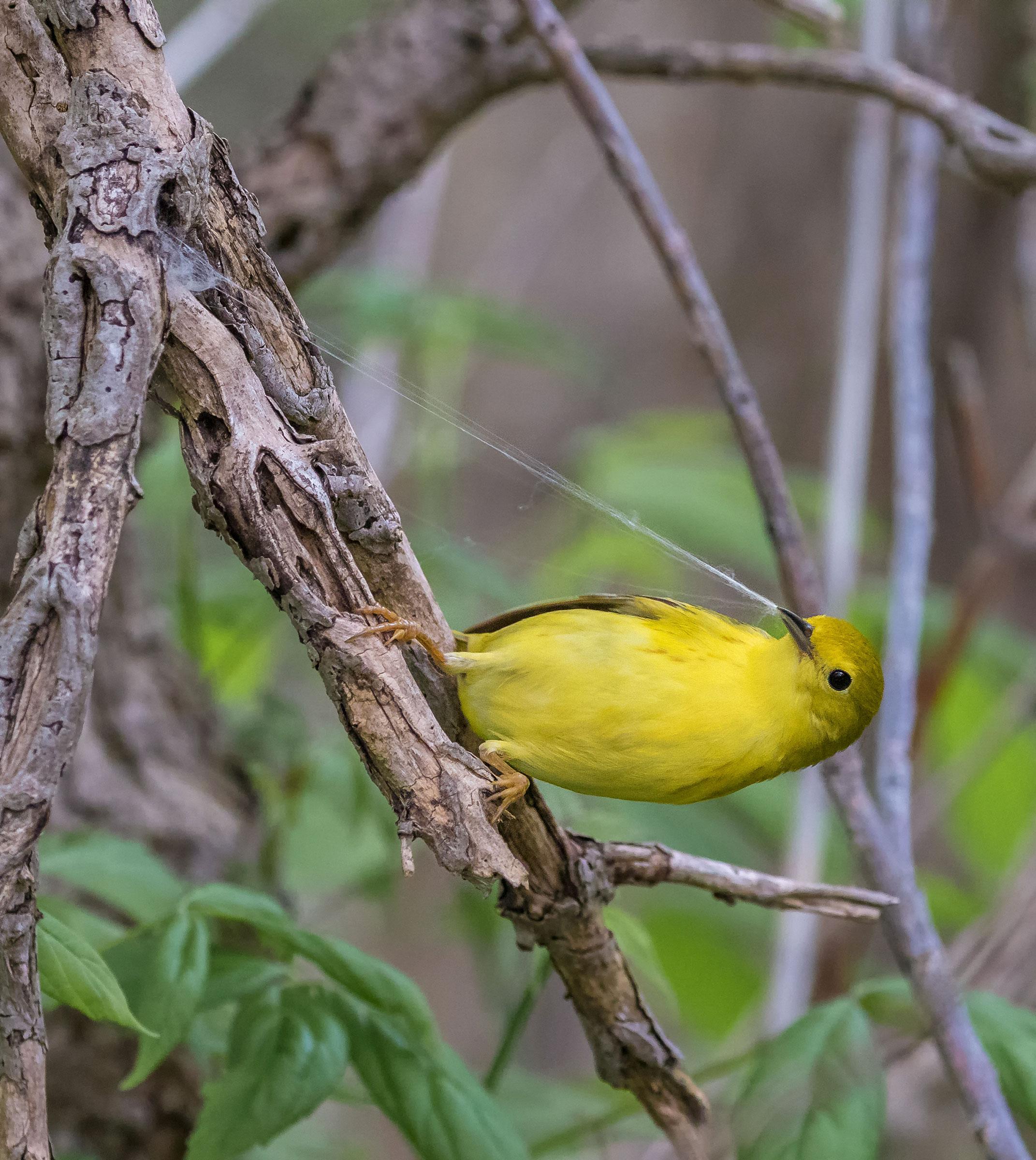 Yellow Warbler. Pratyaydipta Rudra/Audubon Photography Awards